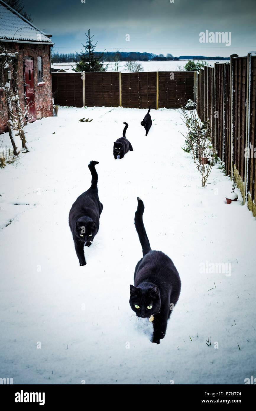 Four lucky black cats in a garden in deep snow PR - Stock Image