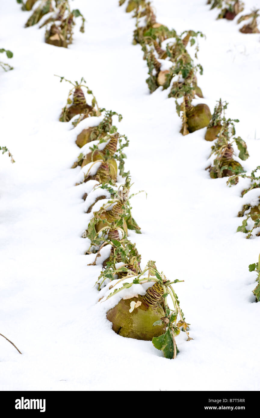 Turnip crop planted for sheep under snow Cumbria - Stock Image