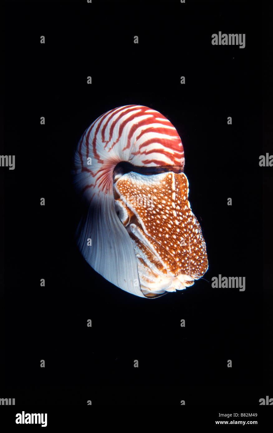 Nautilus Pompilus, underwater, at night, dive night, mollusk, Papua New Guinea, night dive, prehistoric, shell - Stock Image