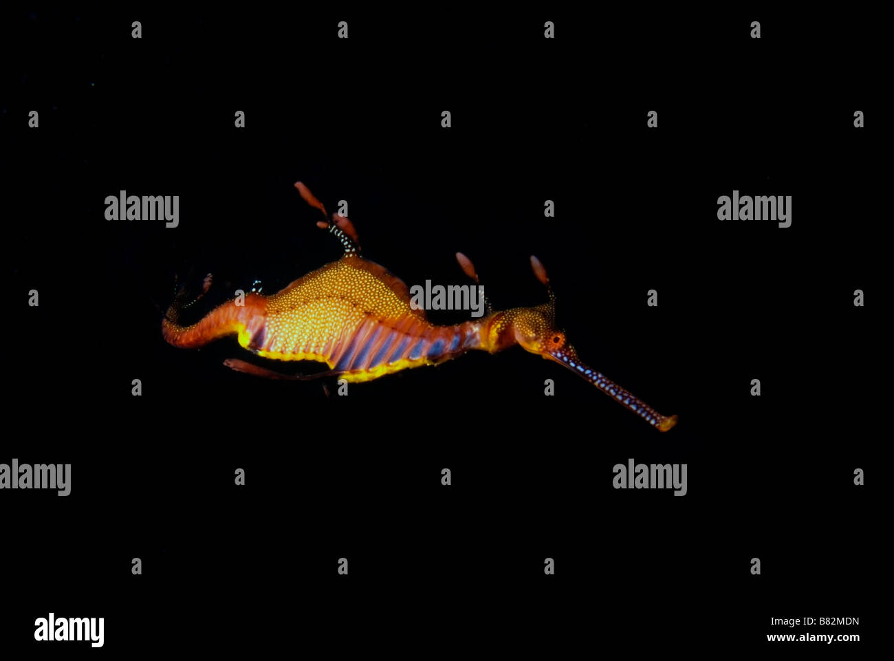 Weedy sea dragon, Australia, night dive, dark water, scuba, diving, colorful, underwater, ocean, sea, scuba, diving, - Stock Image