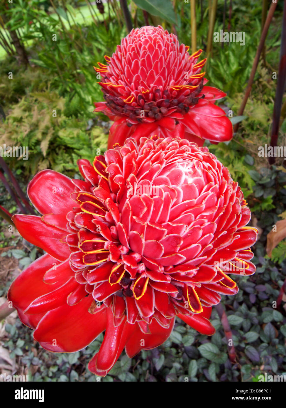 Spectacular flowers of the red torch ginger Etlingera elatior native to rainforests of Indonesia and New Guinea Stock Photo