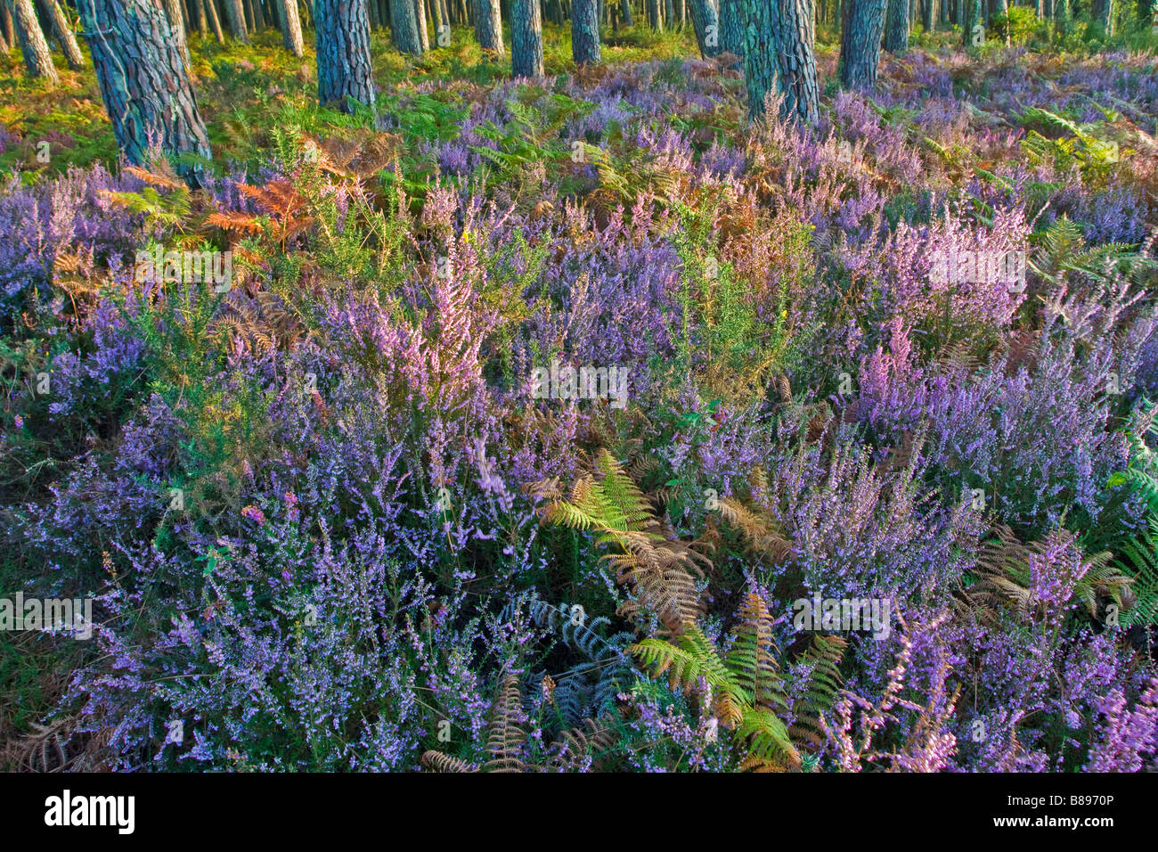 Pink heather flowers in a pine tree forest stock photo 22330694 alamy pink heather flowers in a pine tree forest mightylinksfo