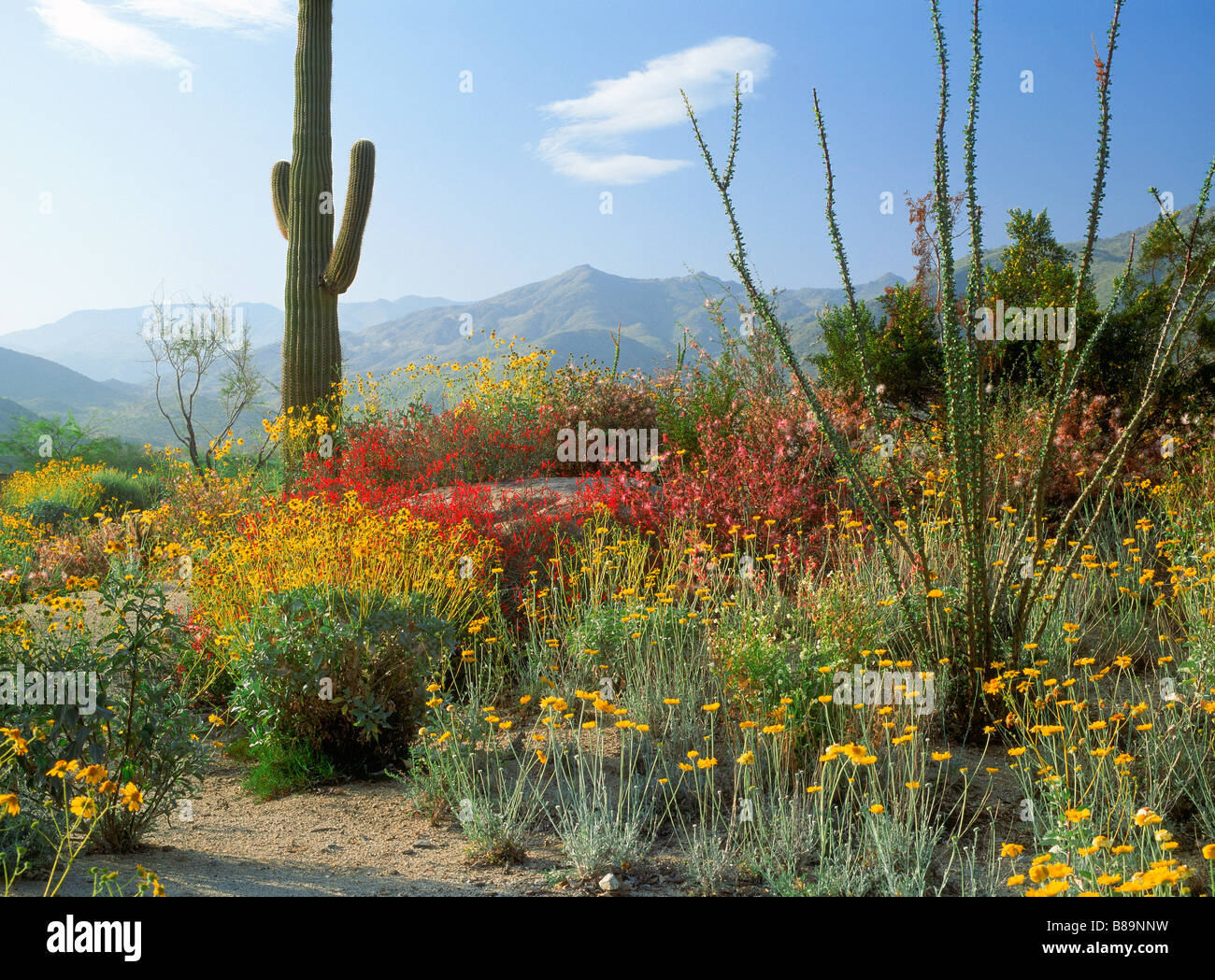Saguaro cactus and spring flowers below mountains in California desert scenic near Palm Springs Stock Photo