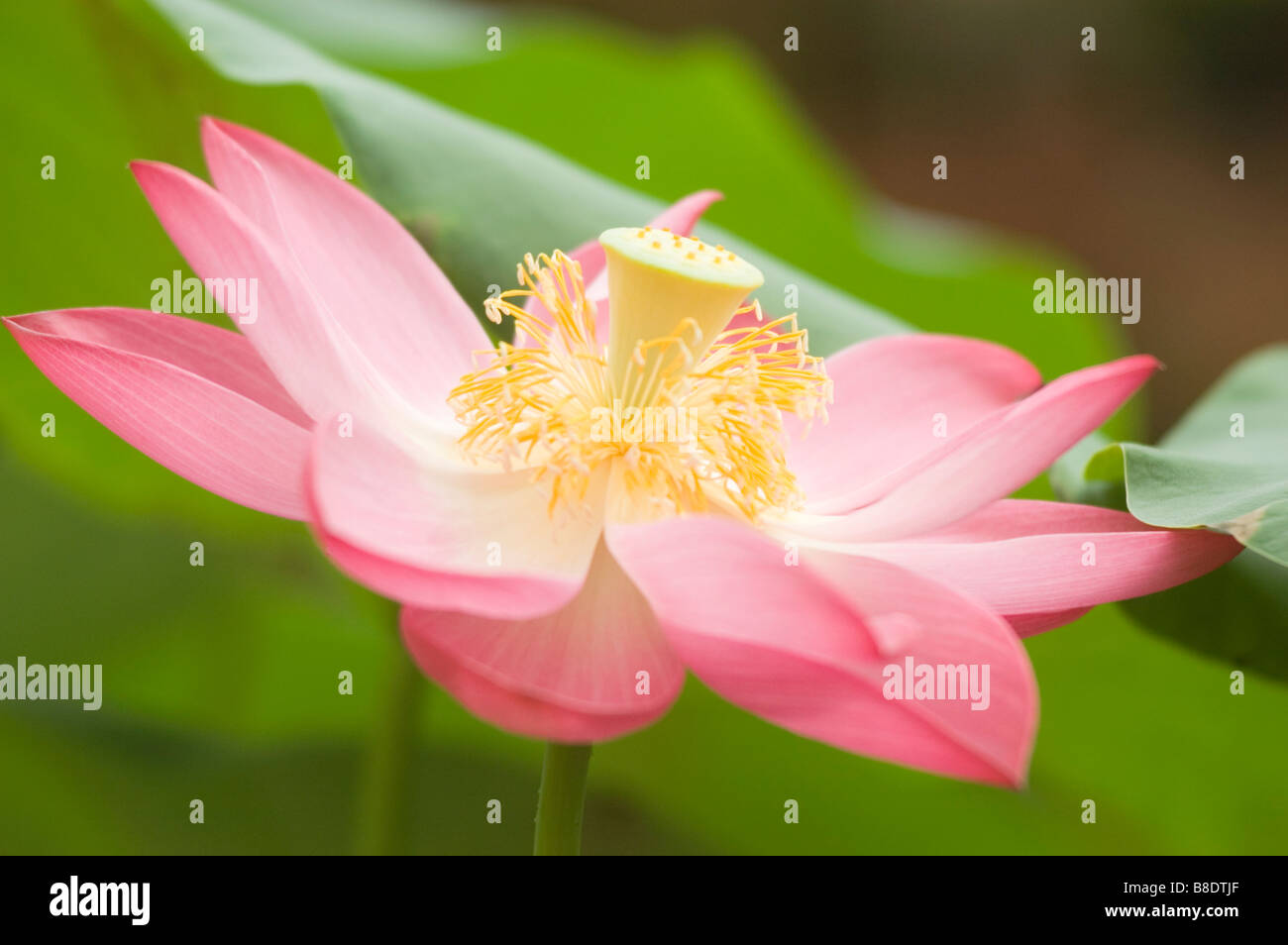 Pink Yellow Flower Of Nelumbo Nucifera Indian Lotus Sacred Lotus