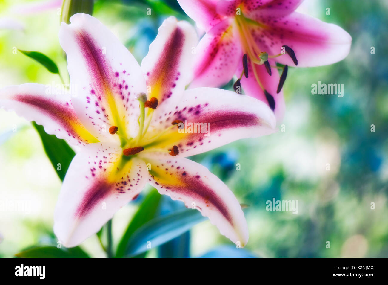 Different oriental lily flowers in bloom in summer garden stock different oriental lily flowers in bloom in summer garden izmirmasajfo Image collections