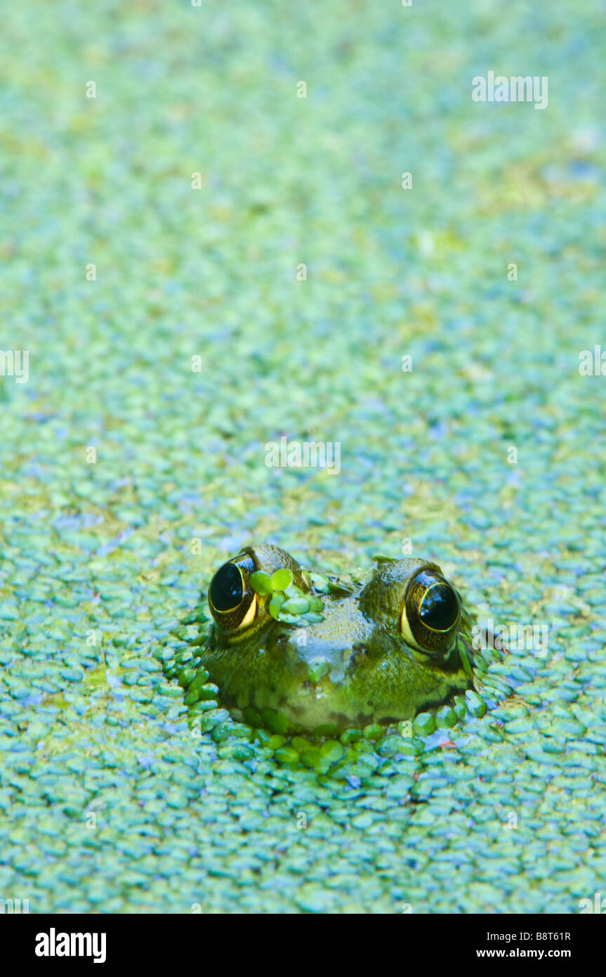 Green frog submerged in a duckweed pond - Stock Image