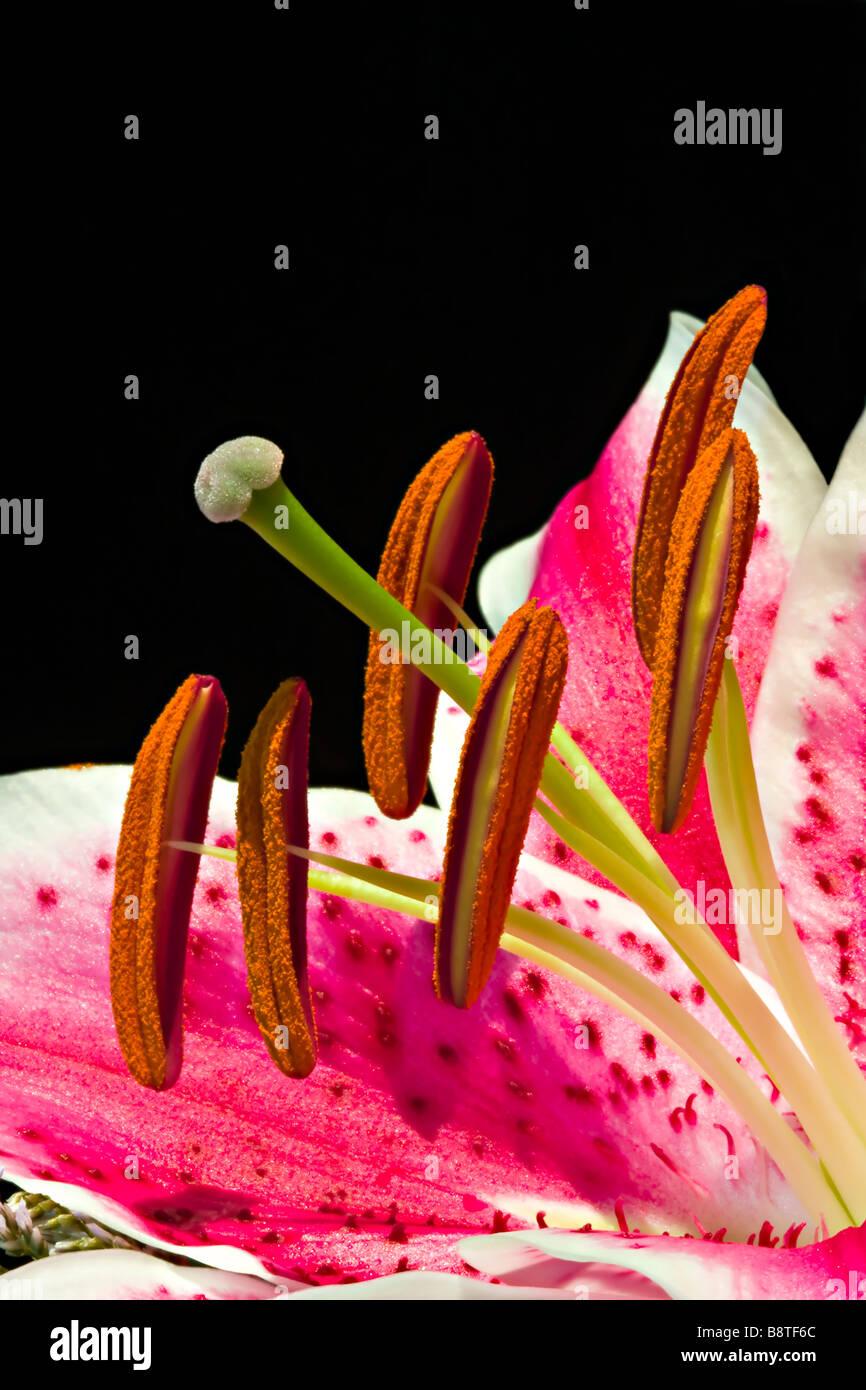 Stargazer Lily with Stamen - Stock Image