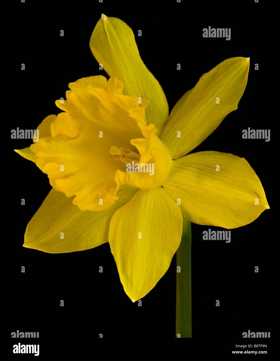 Yellow Daffodil Blossom - Stock Image