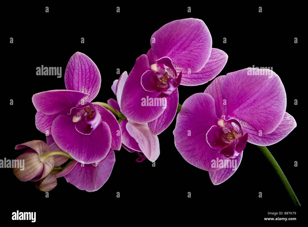 Purple Phalaenopsis Orchid Blossoms - Stock Image