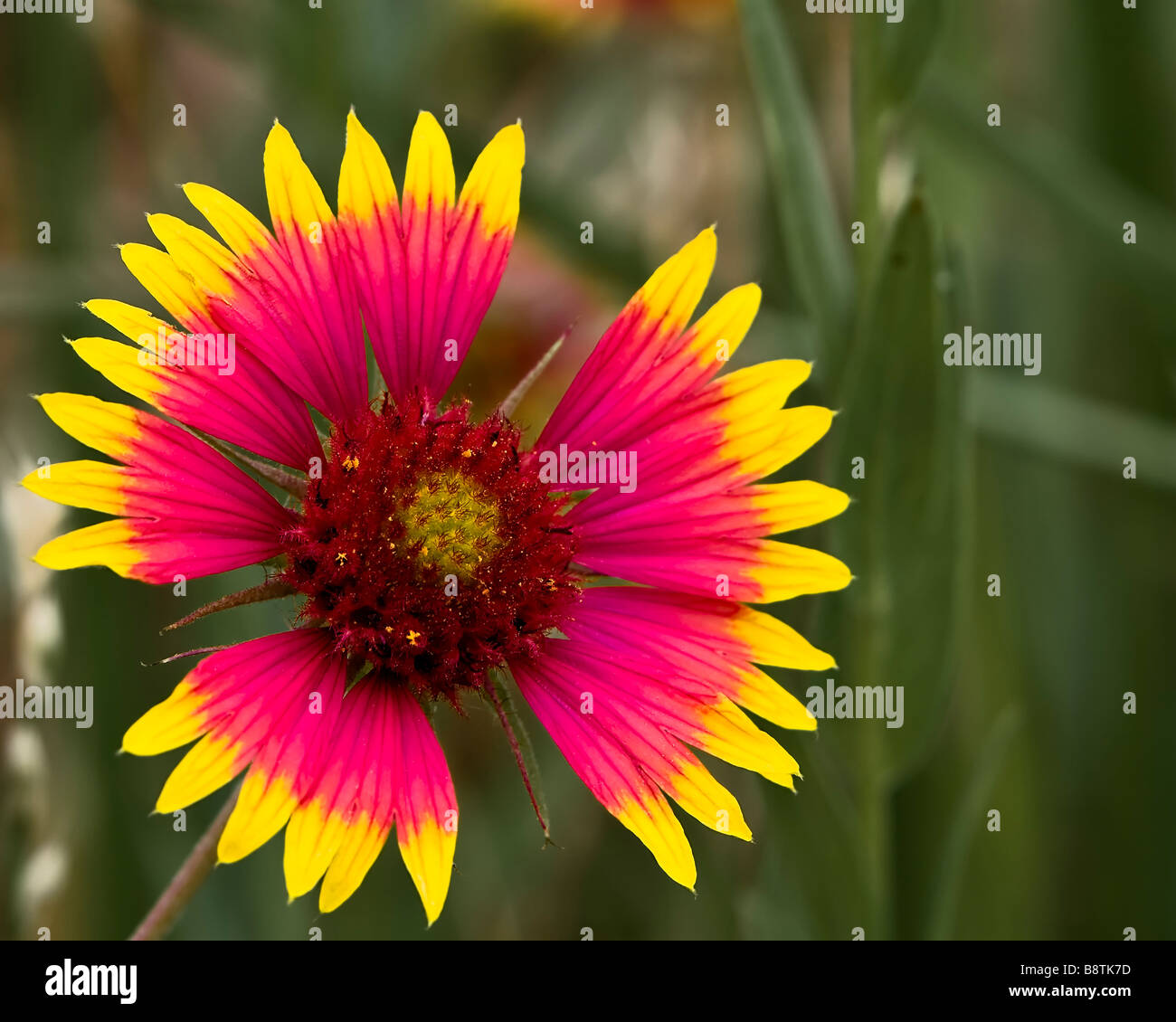 Indian Blanket Wildflower - Stock Image