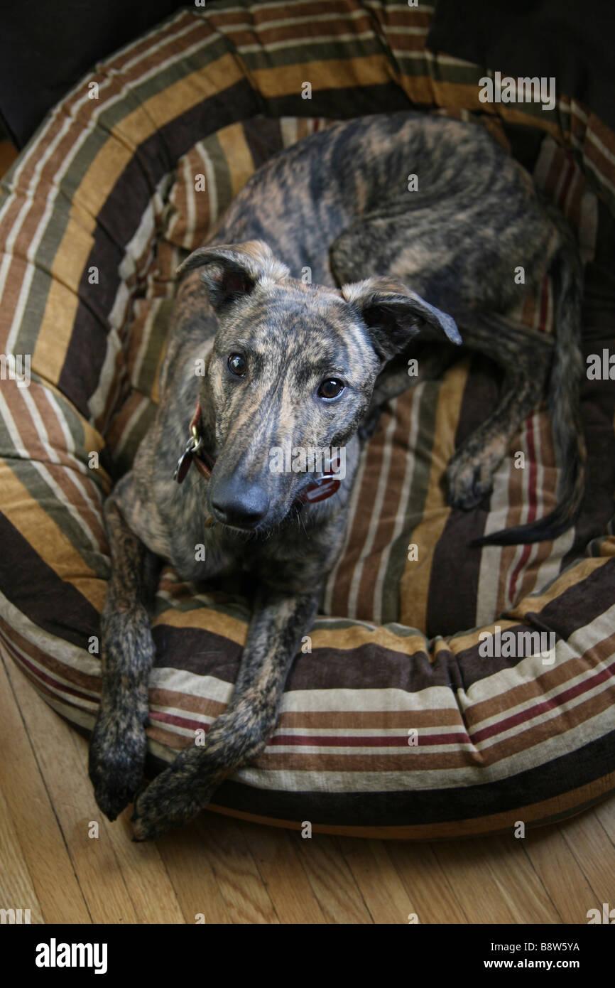 a-greyhound-puppy-lying-in-a-dog-bed-B8W