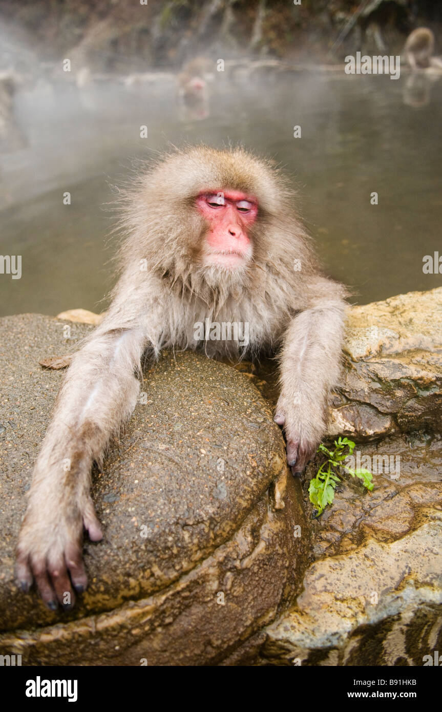 Japanese Macaque snow monkey at Jigokudani Monkey Park Nagano Japan - Stock Image