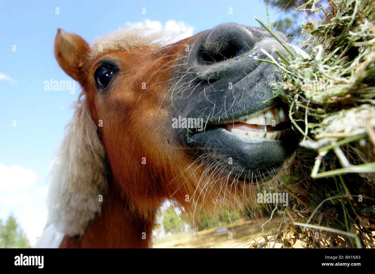 Horse eating hay - Stock Image