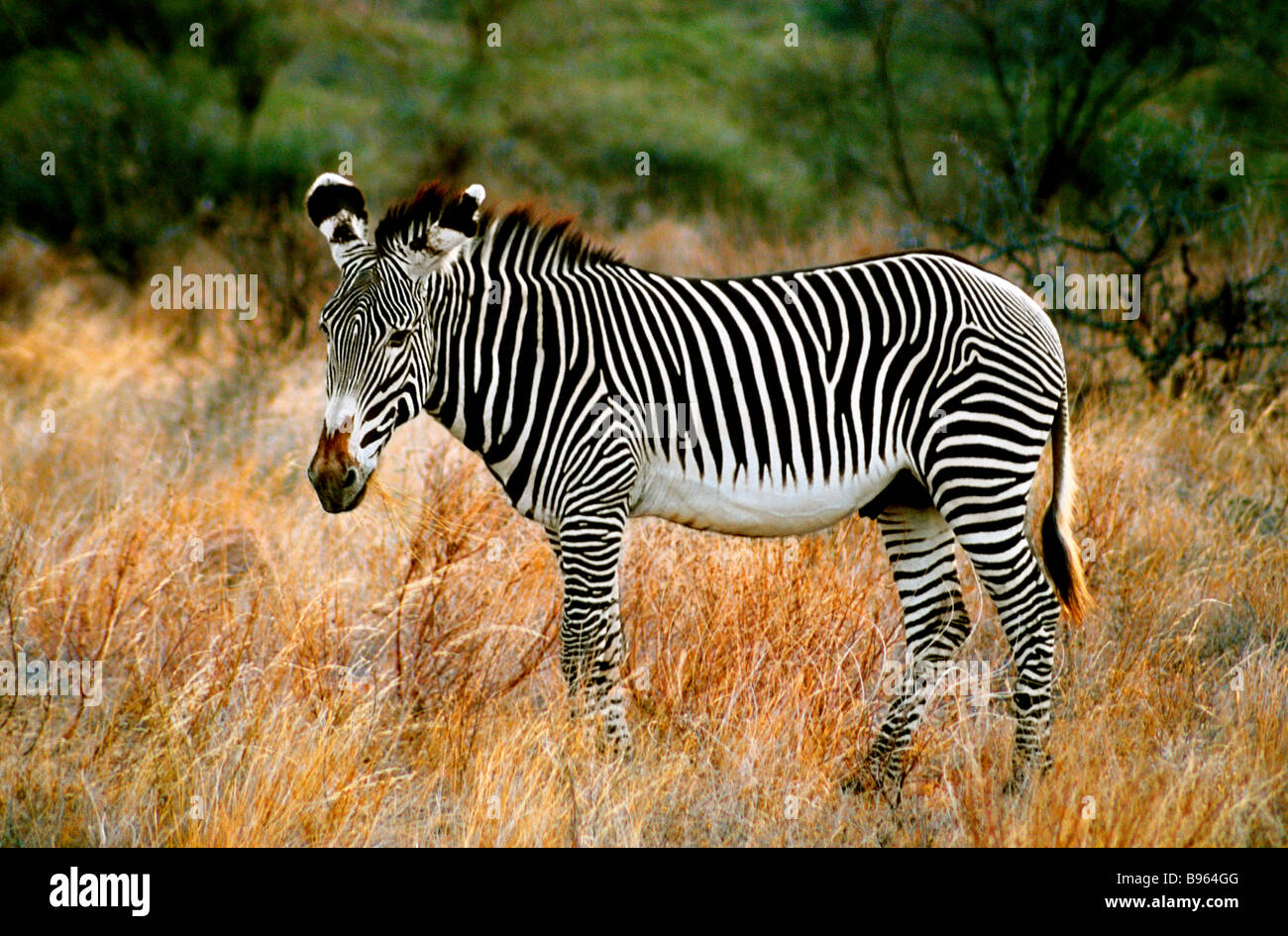 GREVY'S ZEBRA IN KENYA  AFRICA - Stock Image