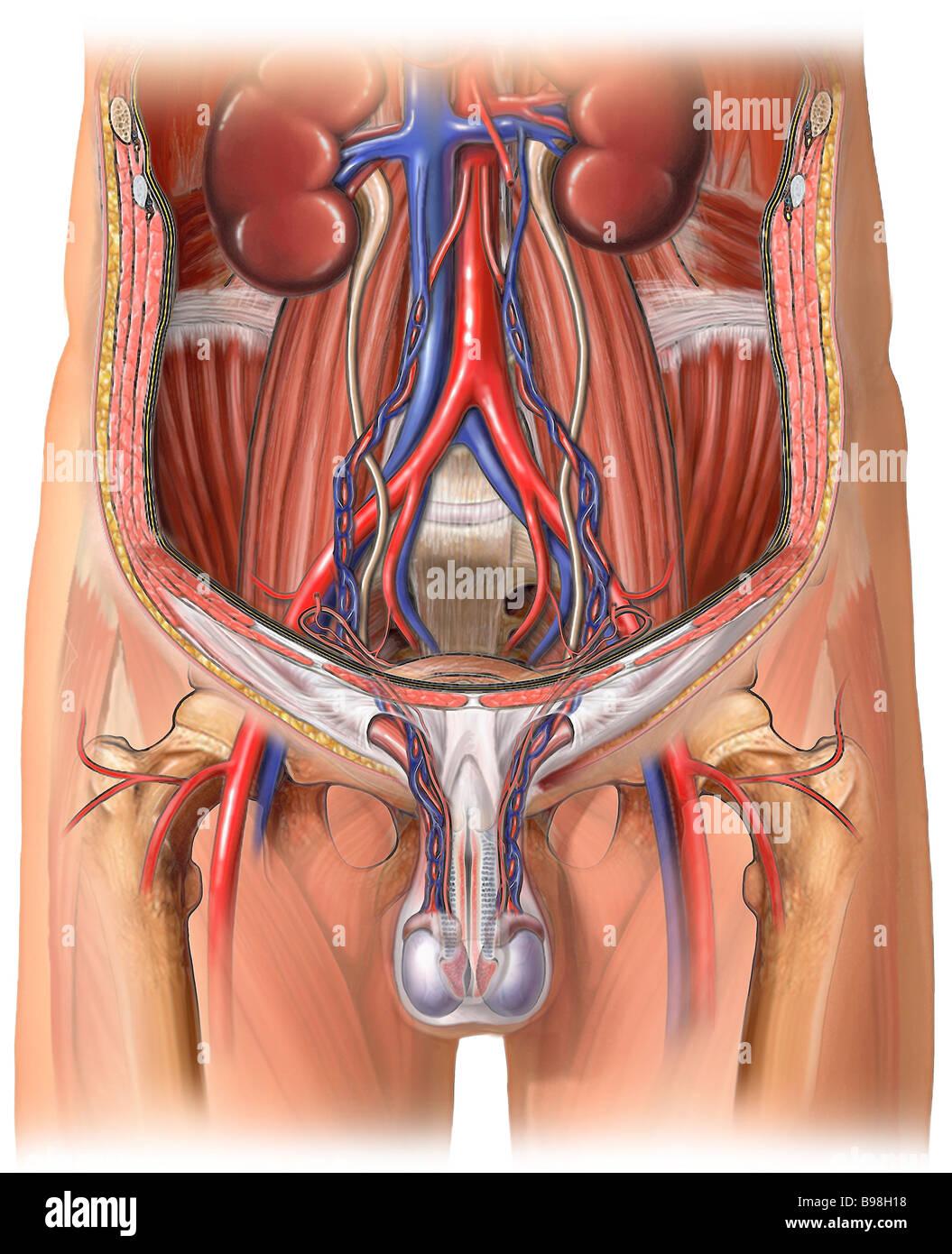 Testicular Blood Supply Stock Photo: 22931252 - Alamy