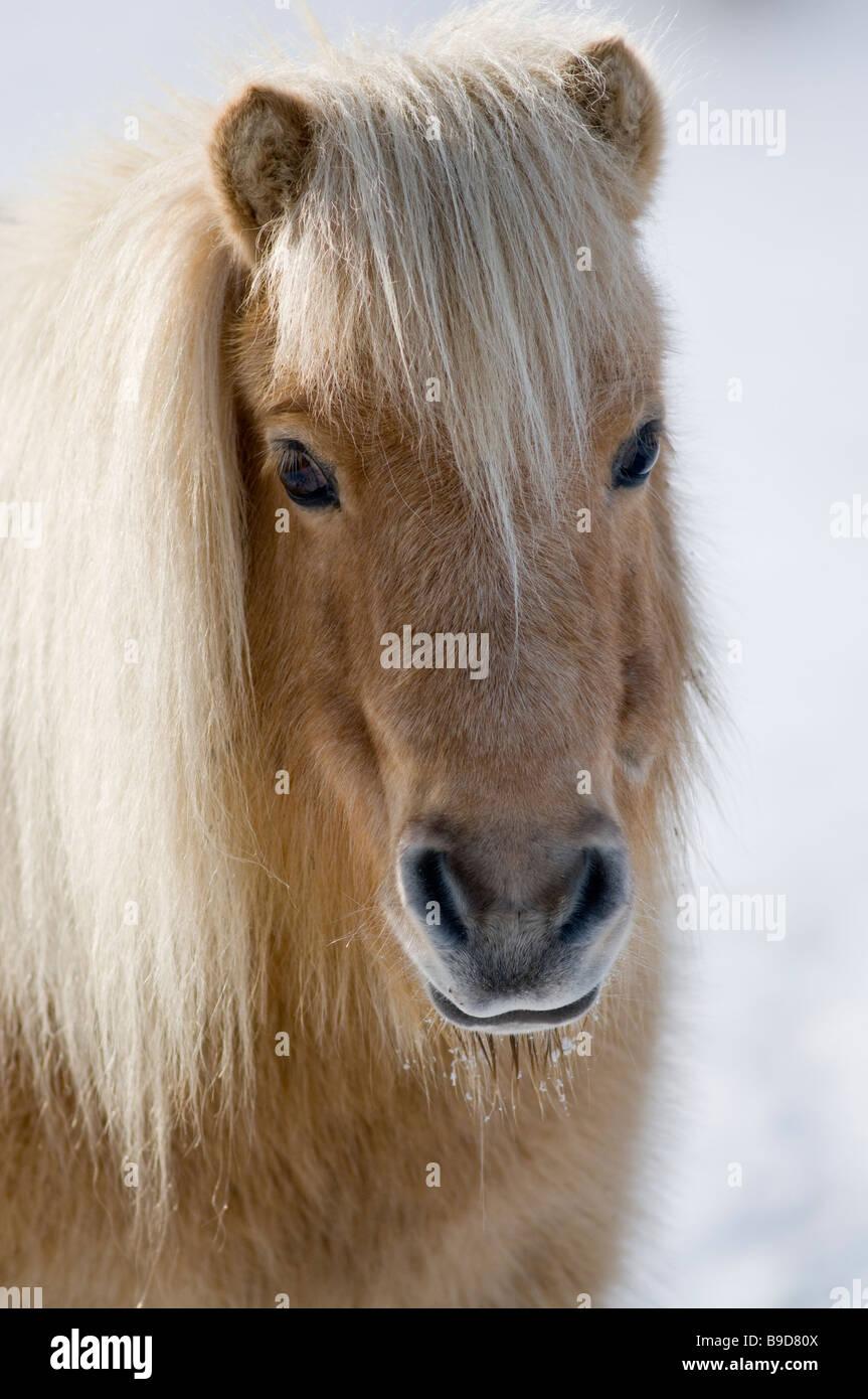 Minature Shetland Pony in snow UK - Stock Image