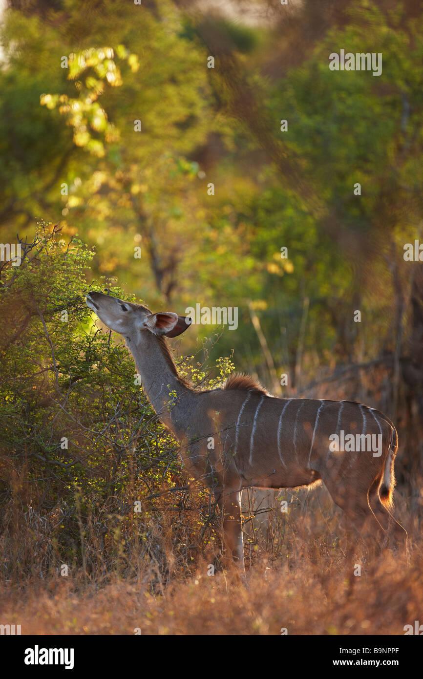 a nyala ewe feeding on vegetation, Kruger National Park, South africa - Stock Image