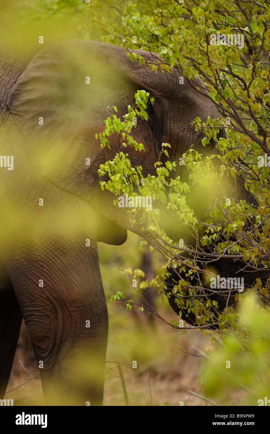 an African elephant feeding in the bush, Kruger National Park, South Africa - Stock Image