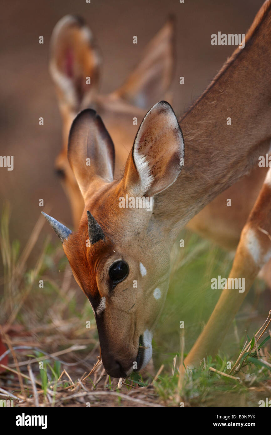 young nyala in the bush, Kruger National Park, South Africa - Stock Image