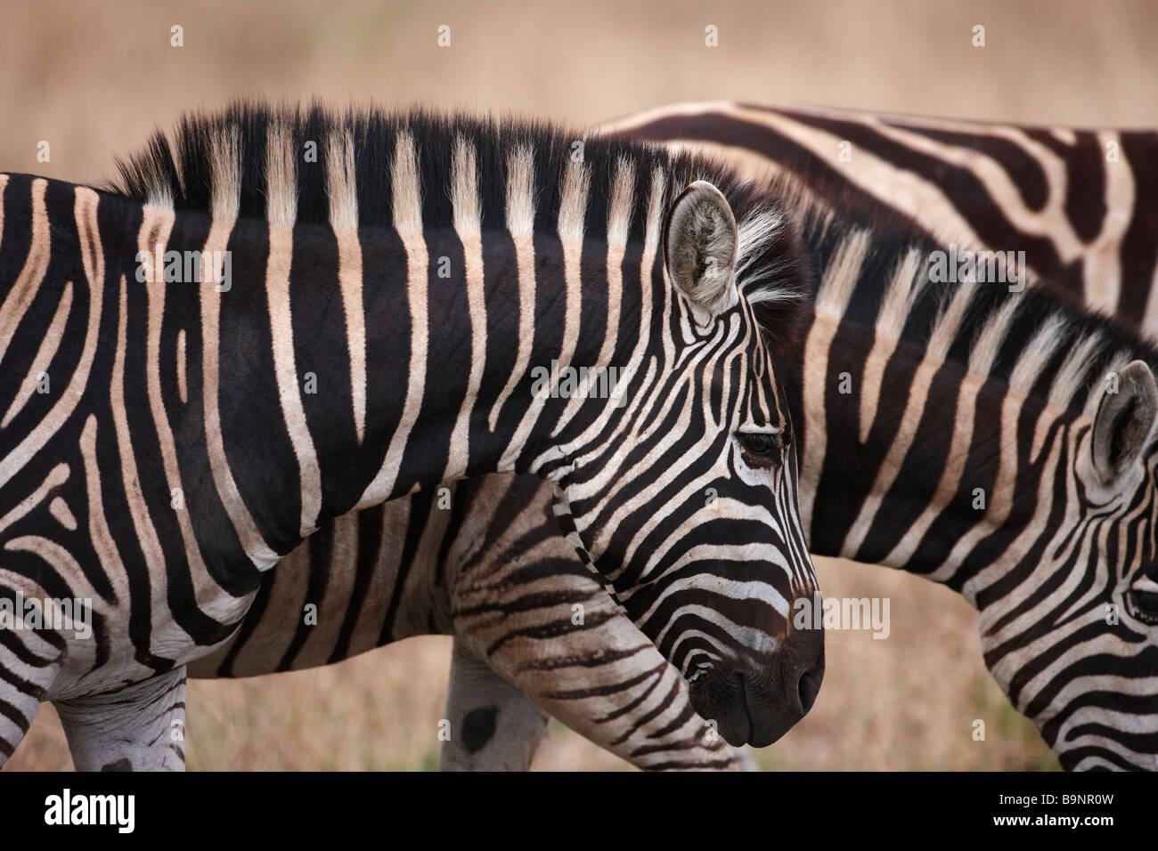 family of Burchellls zebra in the bush, Kruger National Park, South Africa - Stock Image