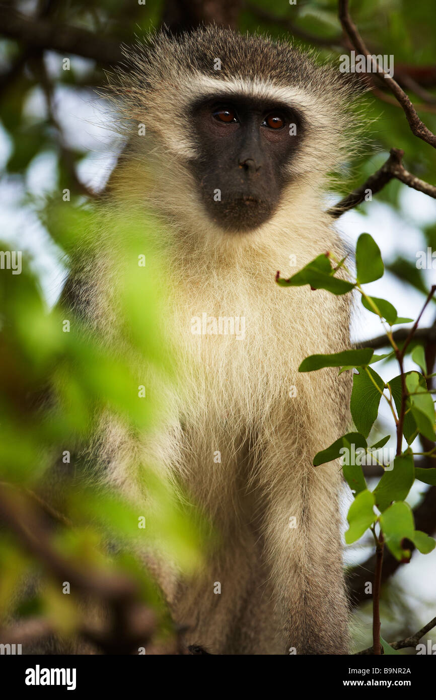 vervet monkey in the bush, Kruger National Park, South Africa - Stock Image