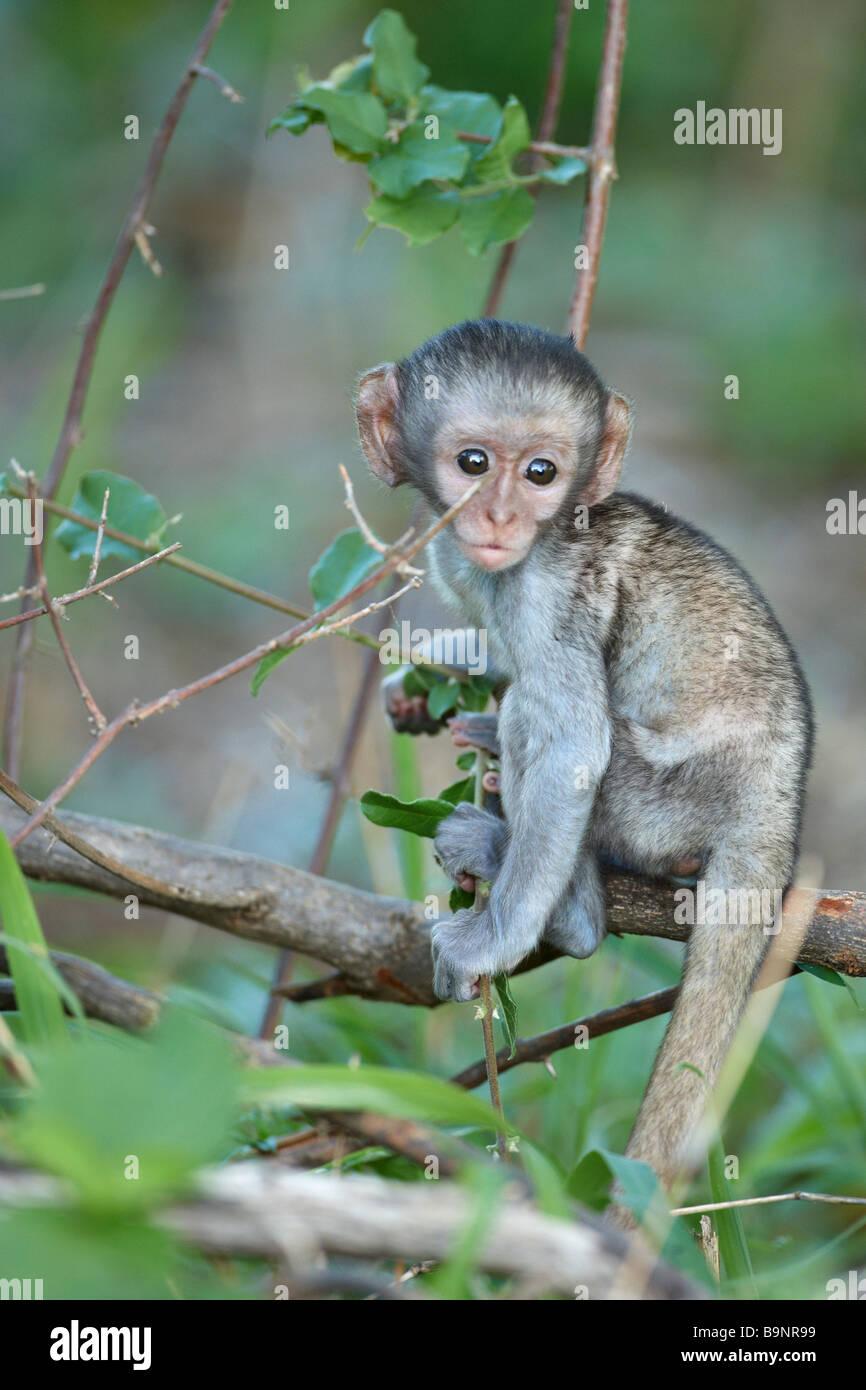 baby vervet monkey in a bush, Kruger National Park, South Africa - Stock Image