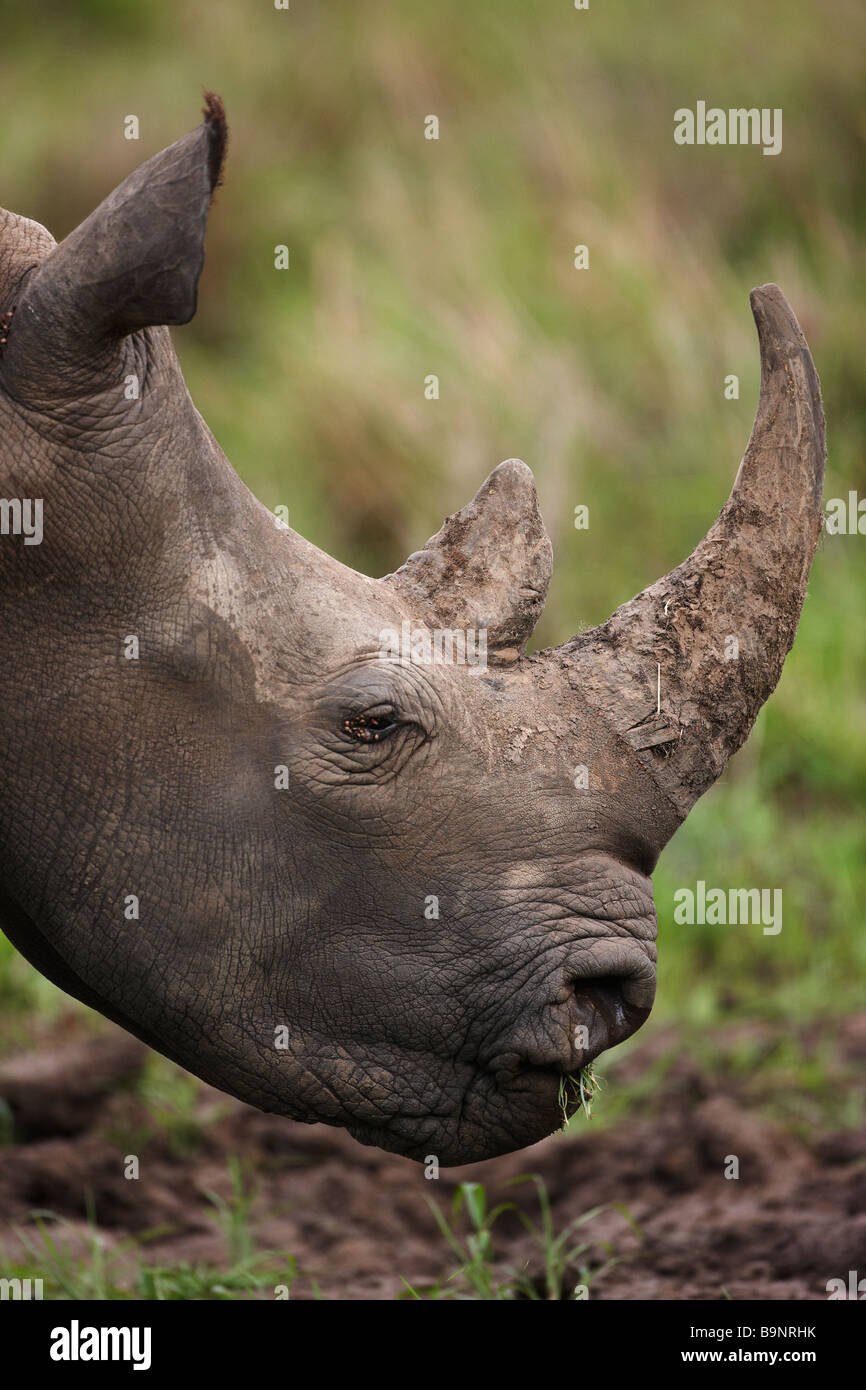 portrait of white rhinoceros grazing in the bush, Kruger National Park, South Africa - Stock Image