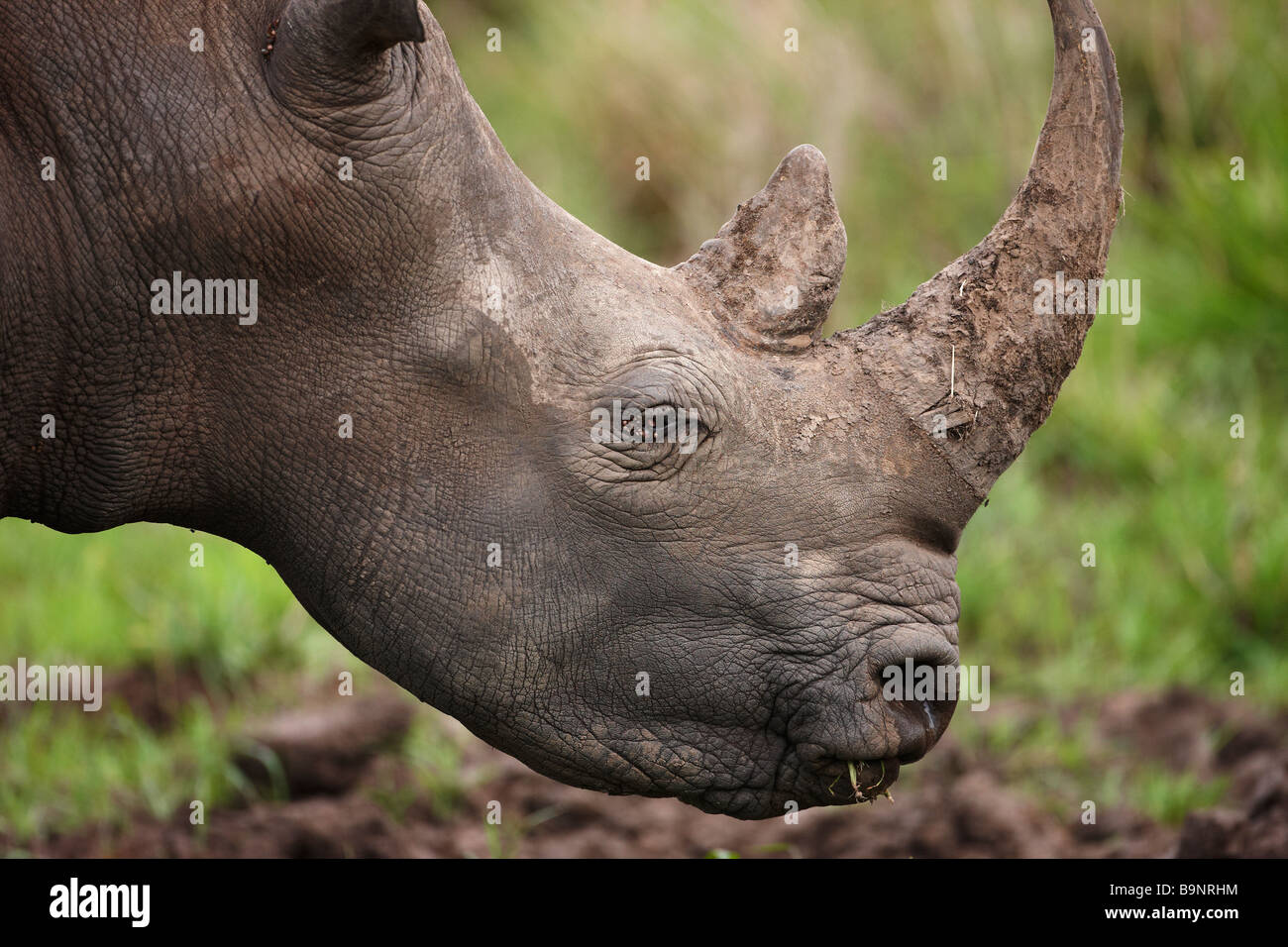 portrait of a white rhinoceros, Kruger National Park, South Africa - Stock Image