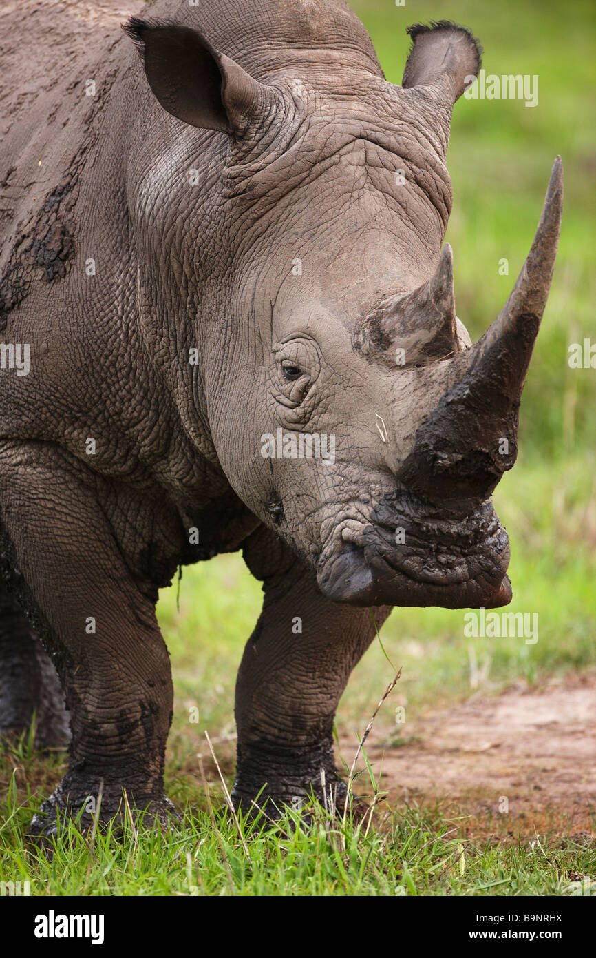 portrait of a white rhinoceros in the bush, Kruger National Park, South Africa - Stock Image