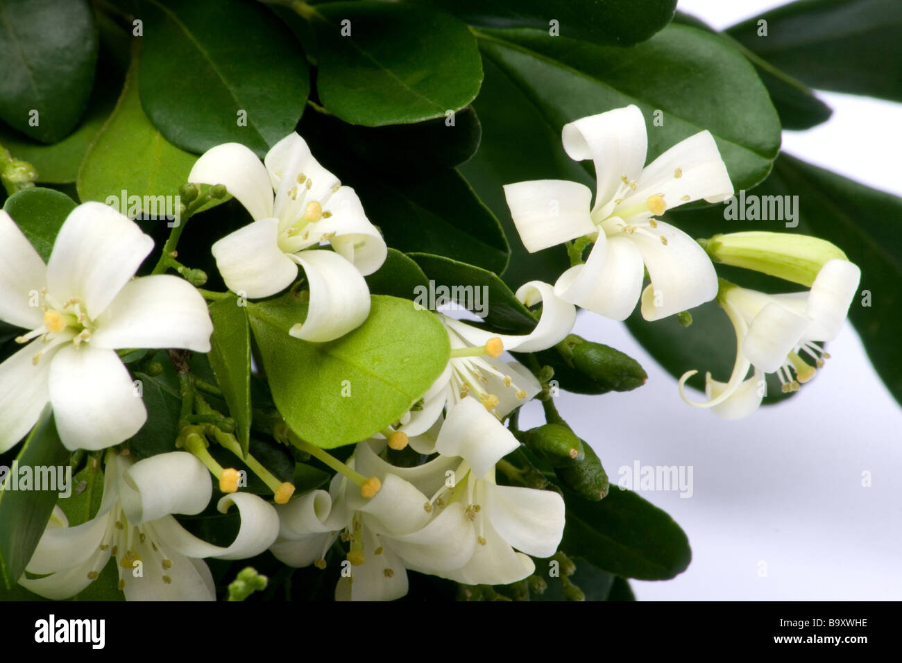 Orange Jasmine Flowers Stock Photo 23333114 Alamy