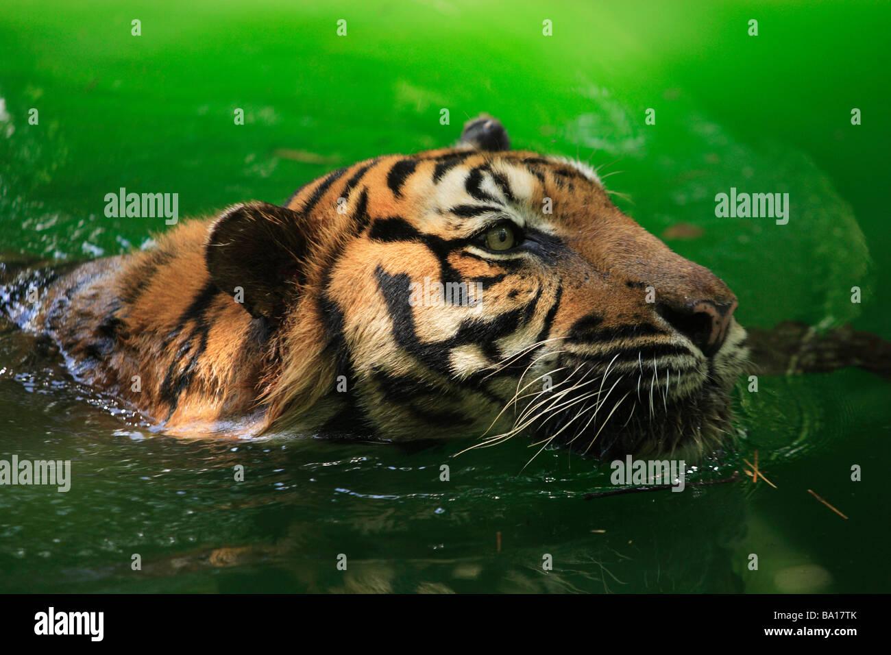 Bengal tiger Panthera tigris tigris swimming in the lake - Stock Image
