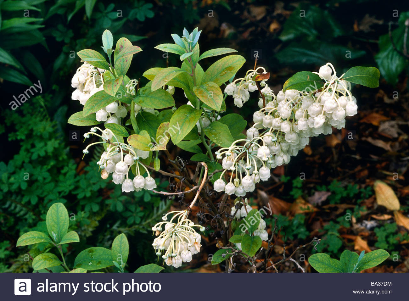 Best bush with small white bell shaped flowers photos wedding and cool bush with small white bell shaped flowers pictures inspiration mightylinksfo Images