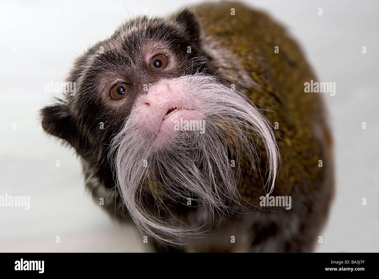 Emperor Tamarin inquisitive nosey monkey cheeky moustache Saguinus imperator - Stock Image