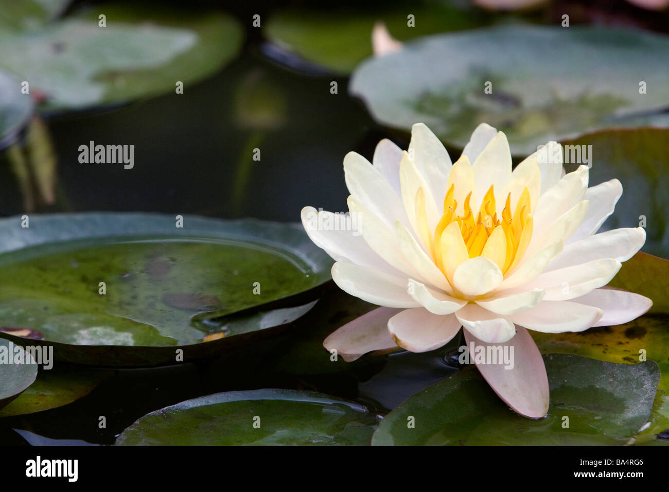 Lotus flower stock photos lotus flower stock images alamy water lily flowers on display at the nguyen hue boulevard flower show in ho chi minh izmirmasajfo Gallery