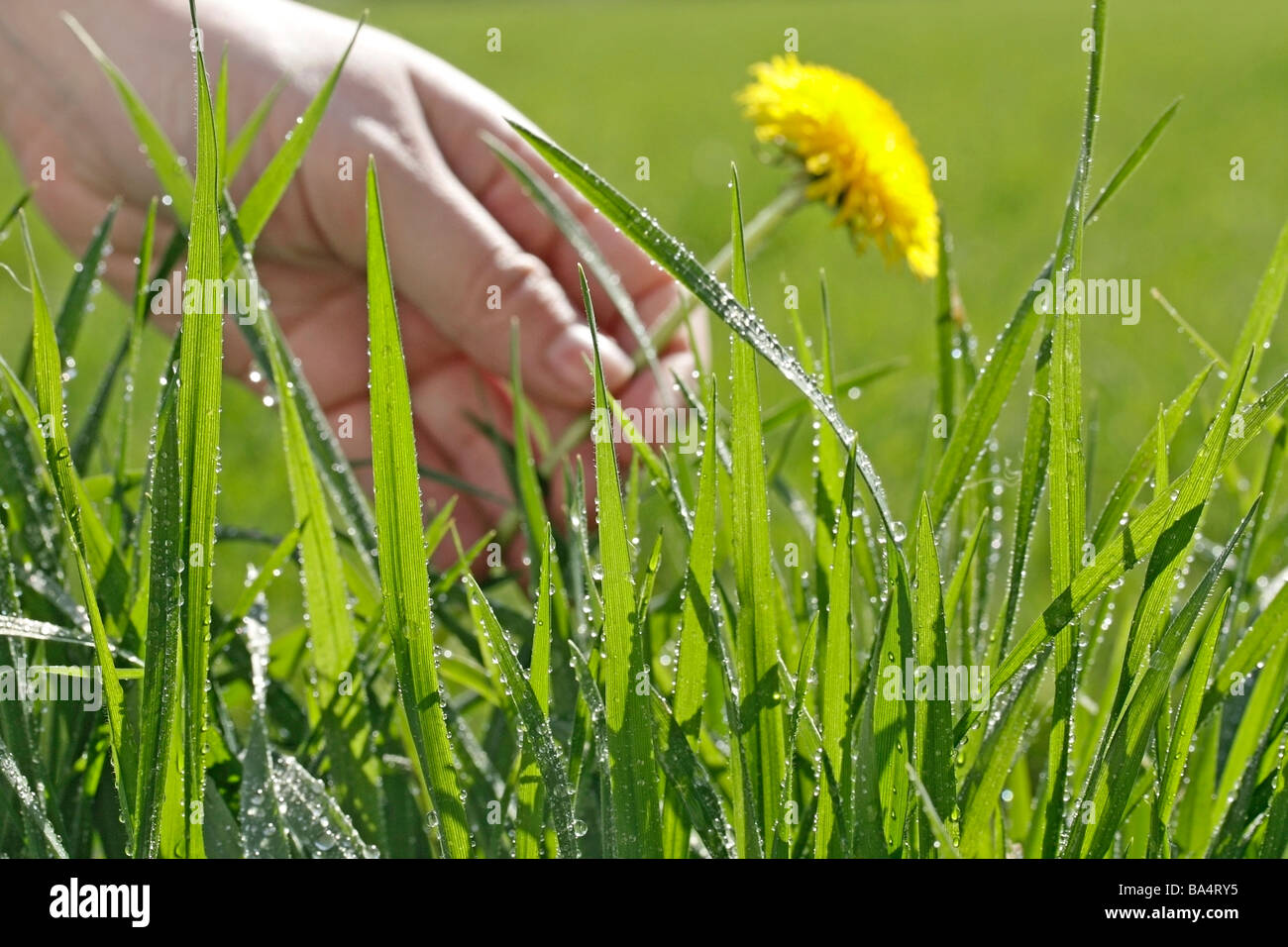 Grass and dew. Dandelion (Taraxacum officinale) - Stock Image