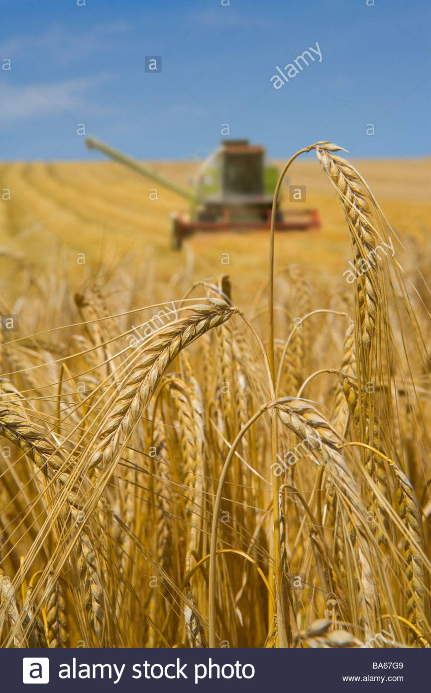 Close up of barley with combine in background - Stock Image