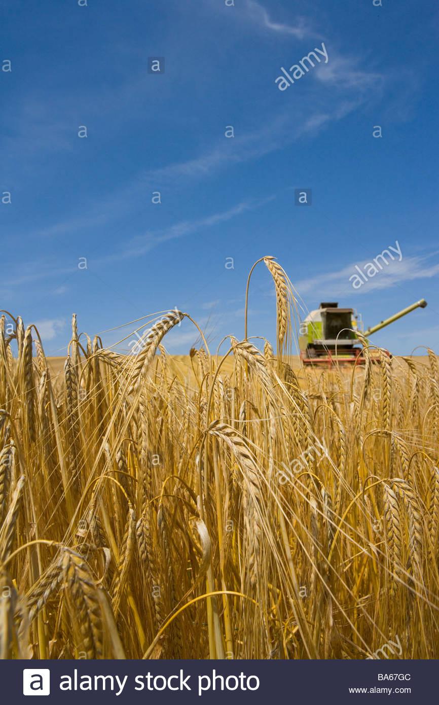 Combine in barley field - Stock Image