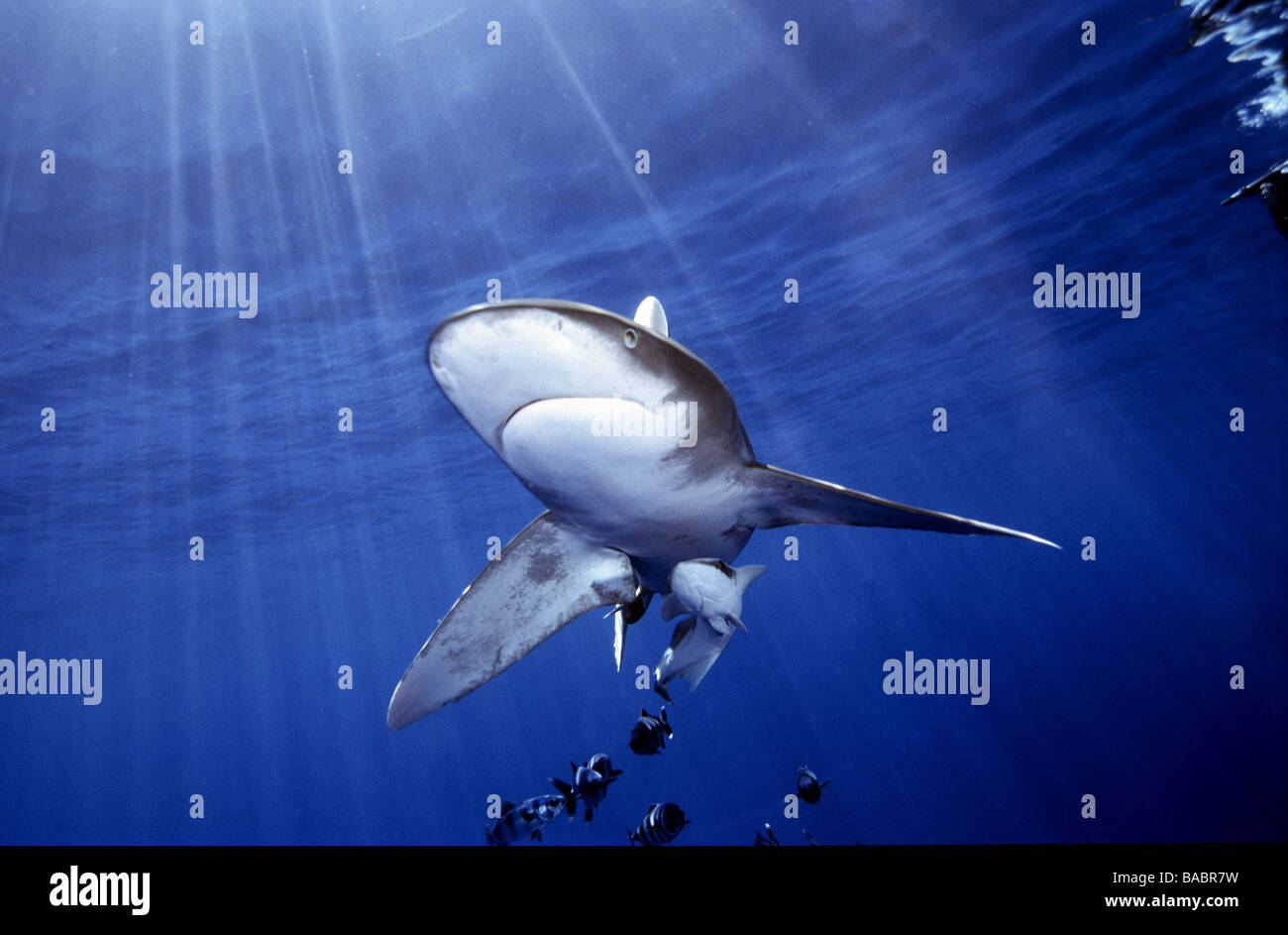 Red Sea Oceanic white tip shark Longimanus Elphistone Reef from Marsa Alam, blue water, sun beams, clear water, - Stock Image