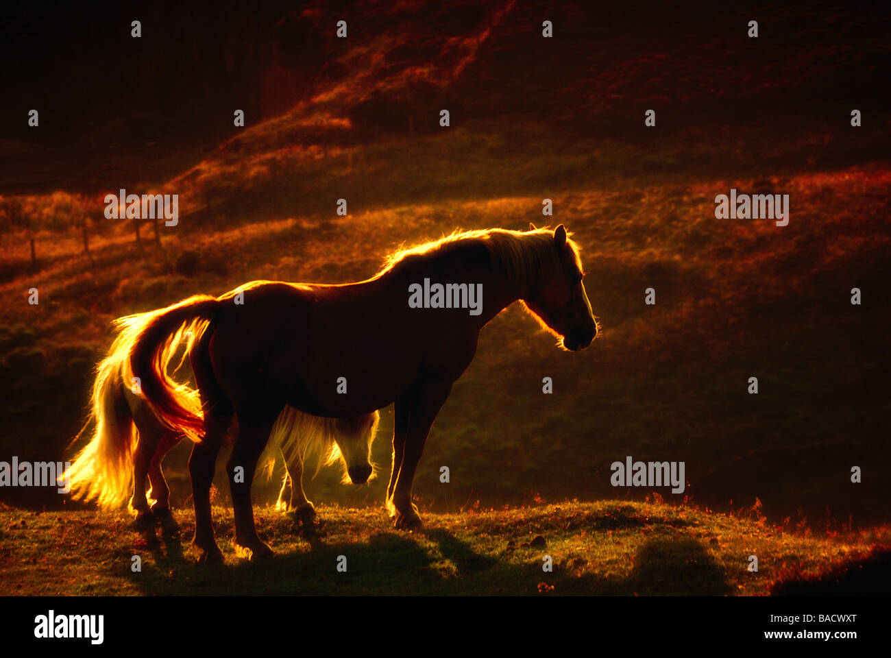 Horses in sunset at Peak District - Stock Image