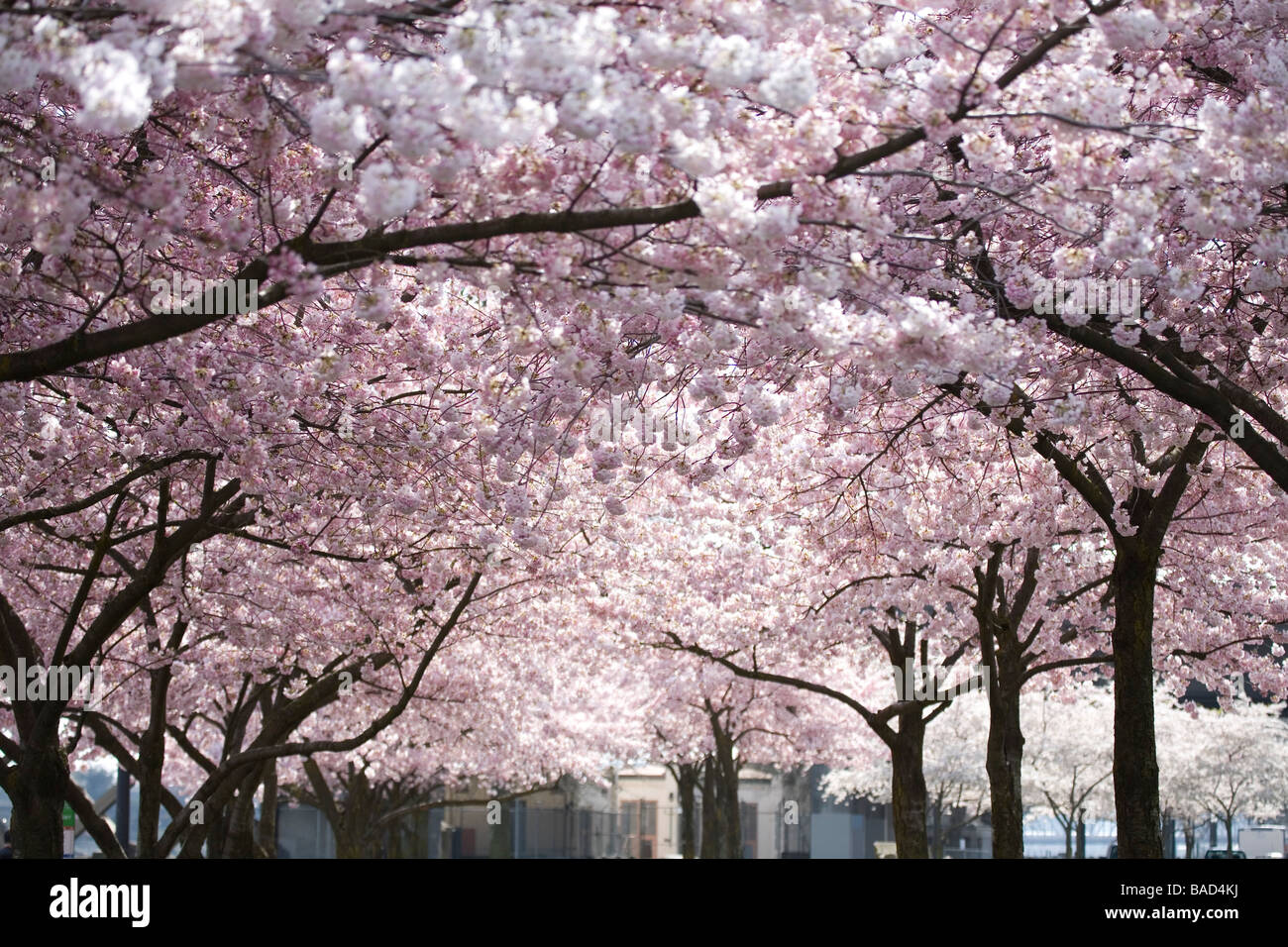 Pink Blossoms On The Trees Oregon United States Of America Stock