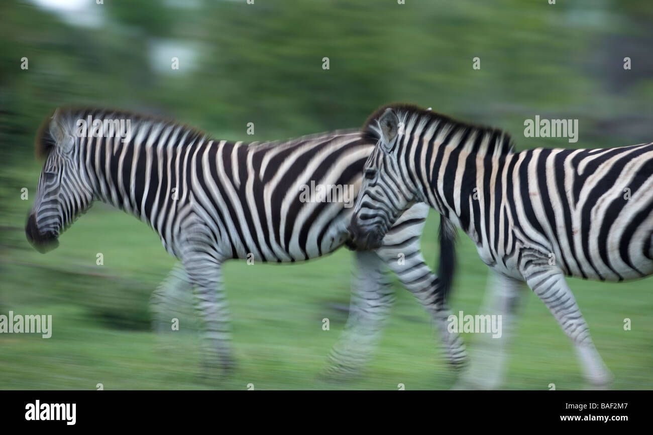 zebra on the move, Kruger National Park, South Africa - Stock Image