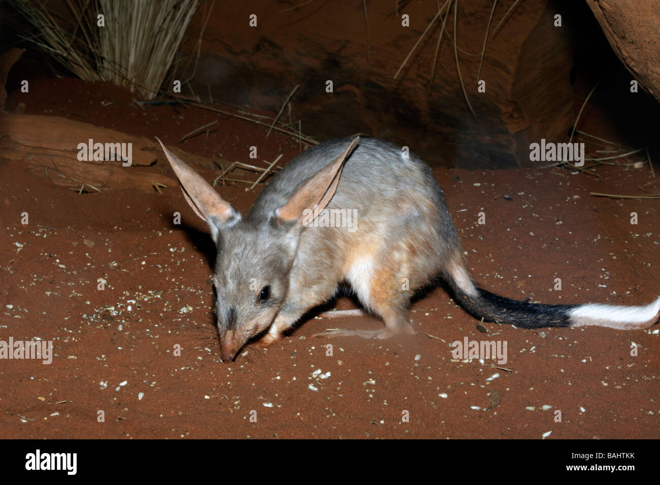 greater-bilby-macrotis-lagotis-scavenging-at-night-BAHTKK.jpg