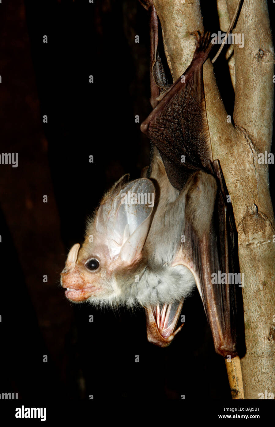 ghost-bat-macroderma-gigas-also-known-as-the-false-vampire-bat-is-BAJ5BT.jpg