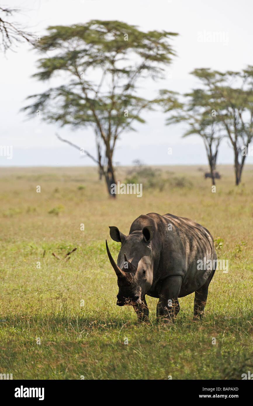 White rhino grazing on the short grasses of Lake Nakuru National Park in Kenya - Stock Image