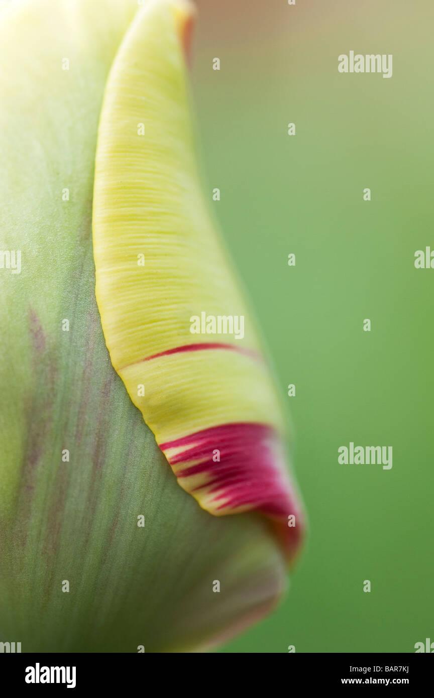 Tulipa. Tulip twister flower abstract at Keukenhof gardens, Lisse, Amsterdam, Holland - Stock Image
