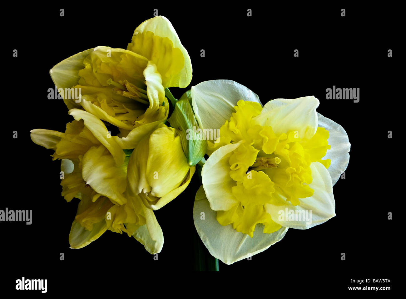 Yellow and White Jonquil Flowers on a Black Background - Stock Image