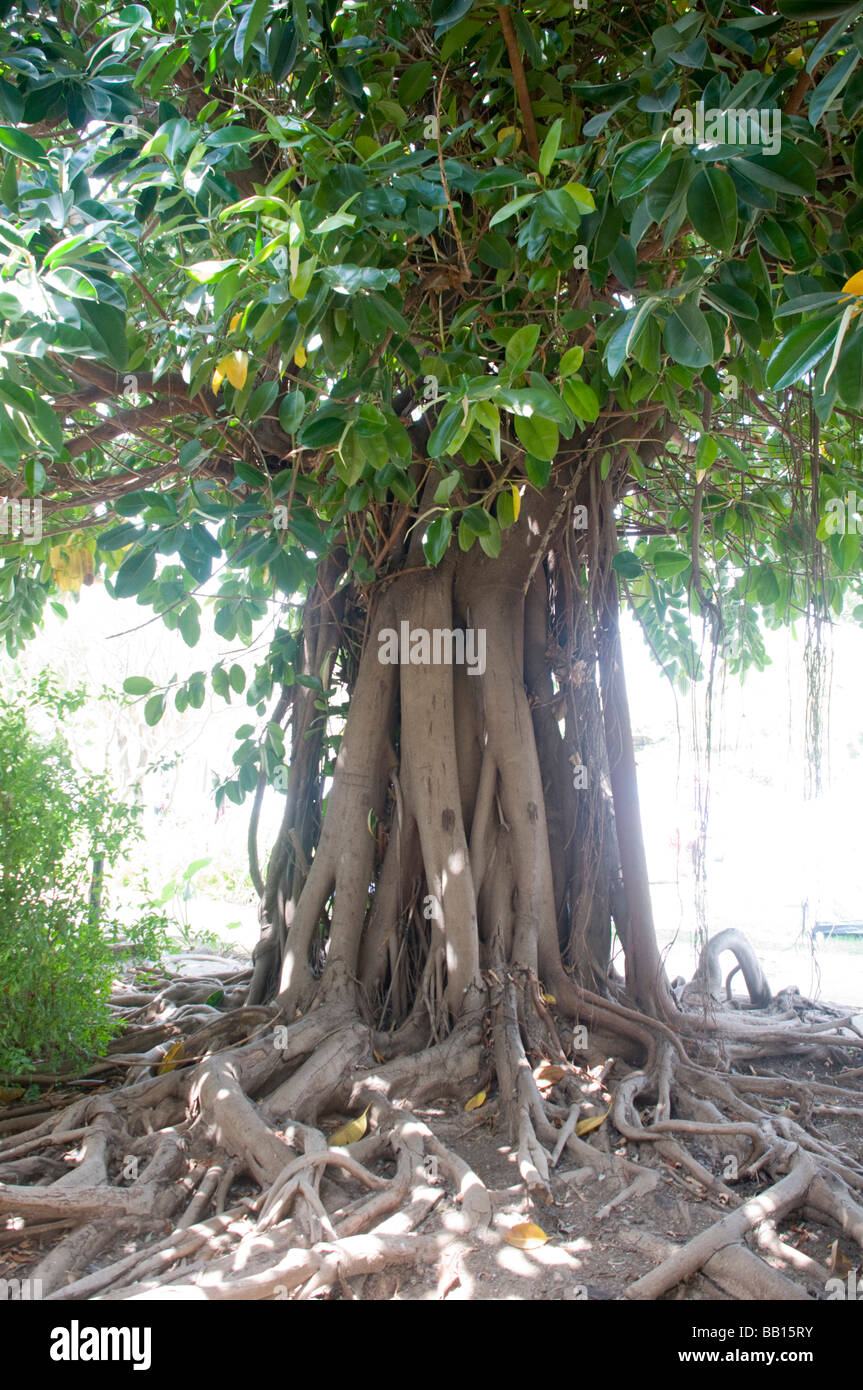 Ficus Elastica Also Called The Rubber Fig