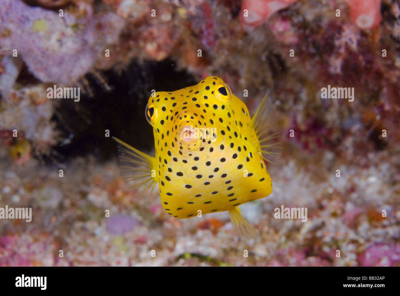 Indian Ocean, Indonesia, Komodo National Park. Close-up of a juvenile boxfish. Stock Photo
