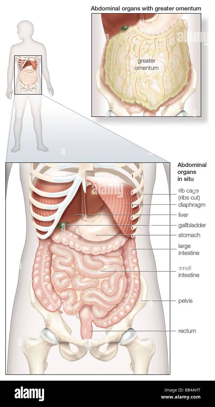 Diagram of the human abdominal cavity showing the digestive organs diagram of the human abdominal cavity showing the digestive organs in situ as well as covered by the omentum ccuart Gallery