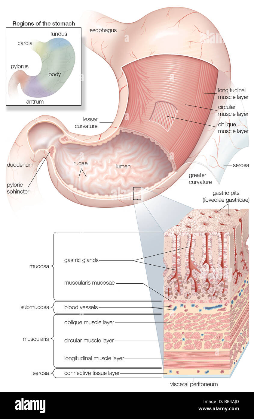 Diagram showing the mucosa and musculature of the human stomach plus diagram showing the mucosa and musculature of the human stomach plus insets of histology and regions ccuart Image collections